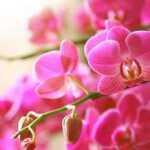 10 taisyklių, kad orchidėja vėl žydėtų. Ir kiekvieną kartą taps vis gražesnė