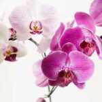 9 taisyklės, dėl kurių orchidėjos žydės visus metus