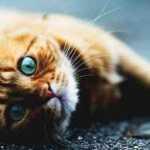 Tyrimas: katės tik apsimeta, kad joms nerūpi žmonės