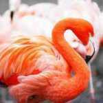 Kodėl flamingai yra rožinės spalvos? Nepatikėsite!