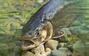 Lašišinių žuvų labui – sugriežtintos verslinės žvejybos taisyklės